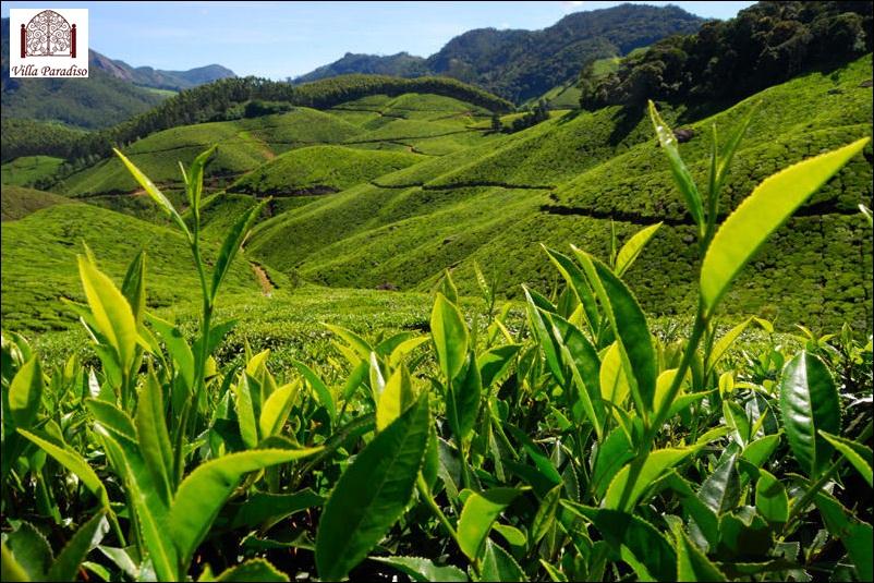 Tea Gardens.